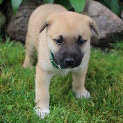 Marley - Designer Dreed Medium male pupper for sale in New Haven, Indiana