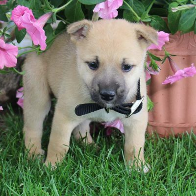 Rosco - Designer Dreed Medium male puppie for sale at New Haven, Indiana