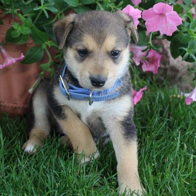 Bandit - Designer Dreed Medium male puppy for sale in New Haven, Indiana