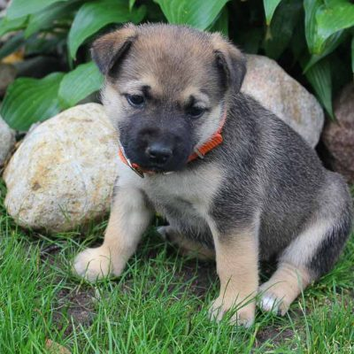 Bella - Designer Dreed Medium female pup for sale at New Haven, Indiana