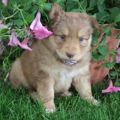 Bailey - Designer Dreed Medium female pupper for sale near New Haven, Indiana