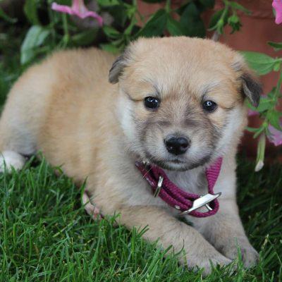 Mia - puppie Designer Dreed Medium female for sale in New Haven, Indiana