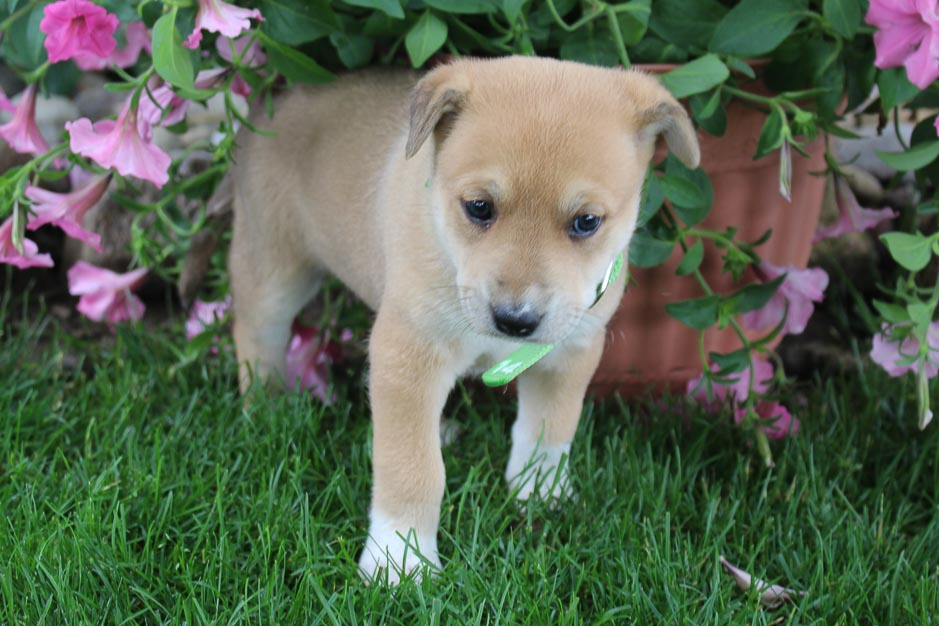 Ginger - Designer Dreed Medium female doggie for sale at New Haven, Indiana