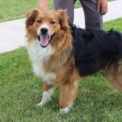 Tony - Australian Shepherd male puppy for sale Hicksville, Ohio