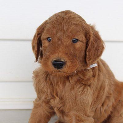 Rambo - F1B Goldendoodle male doggie for sale at Hicksville, Ohio