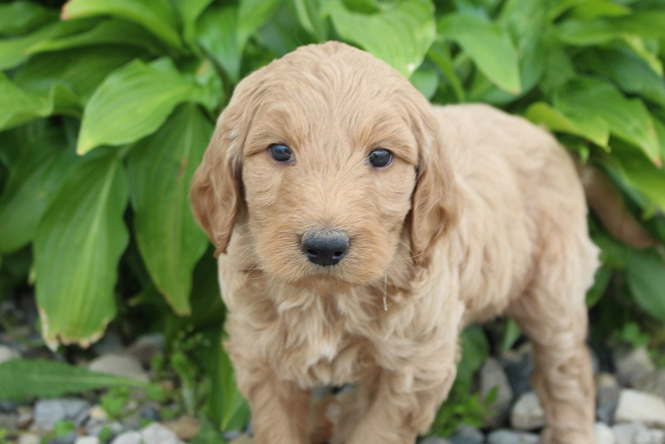 Teisha - F1B Goldendoodle female pup for sale in Hicksville, Ohio