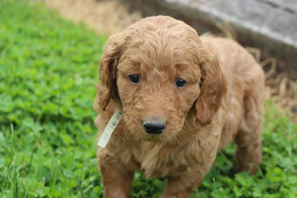 Millie - F1B Goldendoodle male pupper for sale at Hicksville, Ohio