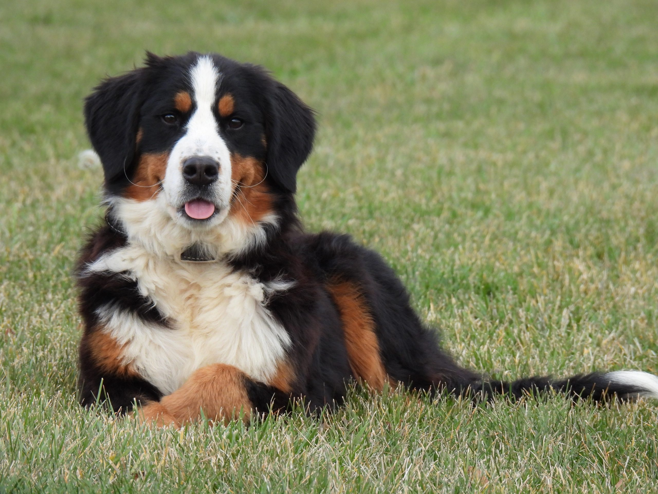 Glory - AKC Bernese Mountain female puppy for sale near Harlan, Indiana