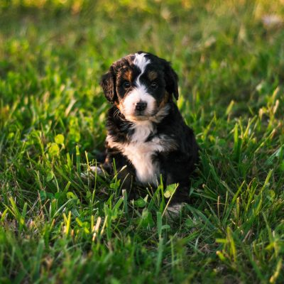 Asher *Mini* - Bernedoodle male pup for sale at Harlan, Indiana