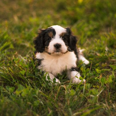 Bentley *Mini* - Bernedoodle male pupper for sale at Harlan, Indiana