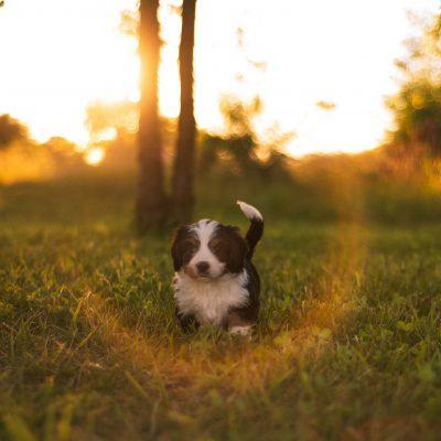 Niki * mini * - Bernedoodle female puppie for sale in Harlan, Indiana
