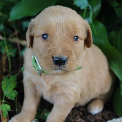 Ruby - AKC Golden Retriever female pup for sale near New Haven, Indiana