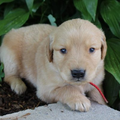 Rosco - male AKC Golden Retriever puppie for sale at New Haven, Indiana