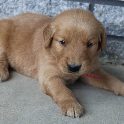 Prince - AKC Golden Retriever male pupper for sale at New Haven, Indiana