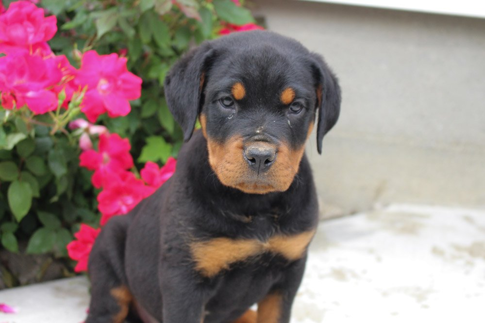 Carolina - pupper AKC Rottweiler female for sale near New Haven, Indiniana
