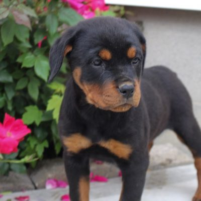 Kali - AKC Rottweiler female pup for sale at New Haven, Indiniana
