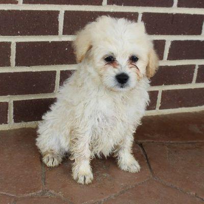 Nicole - doggie Eskipoo female for sale at Grabill, Indiana