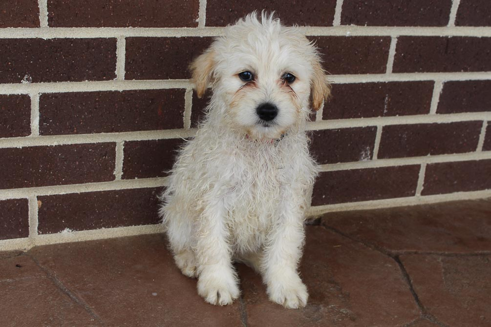 Jade - female Eskipoo pup for sale at Grabill, Indiana