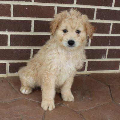 Muddy - Eskipoo male puppy for sale near Grabill, Indiana