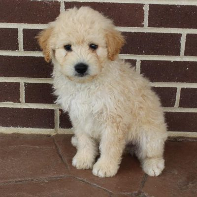 Tommy - Eskipoo male puppie for sale in Grabill, Indiana