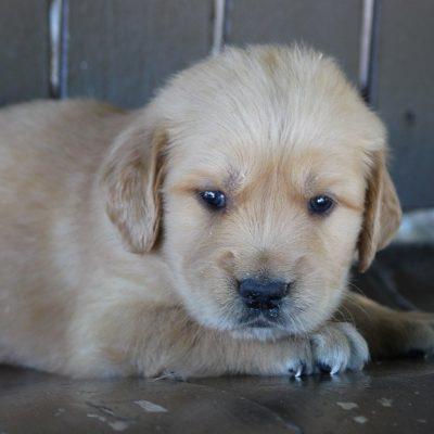 Duke - AKC Golden Retriever male puppie for sale at Grabill, Indiana