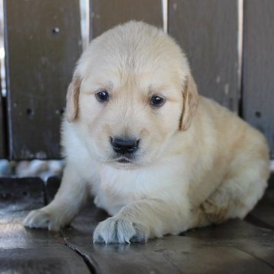 Prince - puppy AKC Golden Retriever male for sale in Grabill, Indiana