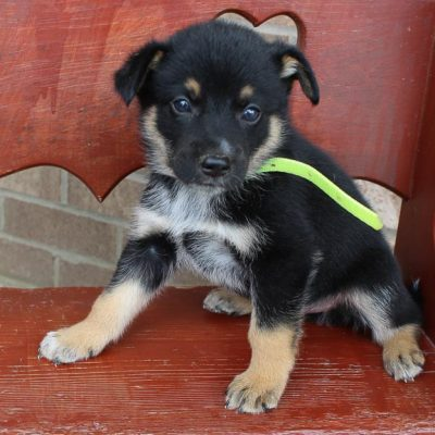 Jumper - pup German Shepherd-Australian Shepherd mix for sale at Grabill, Indiana