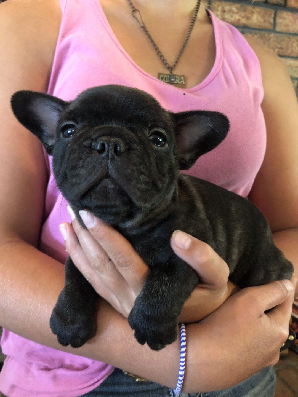AKC French Bulldog - puppy for sale near Cushing, Oklahoma