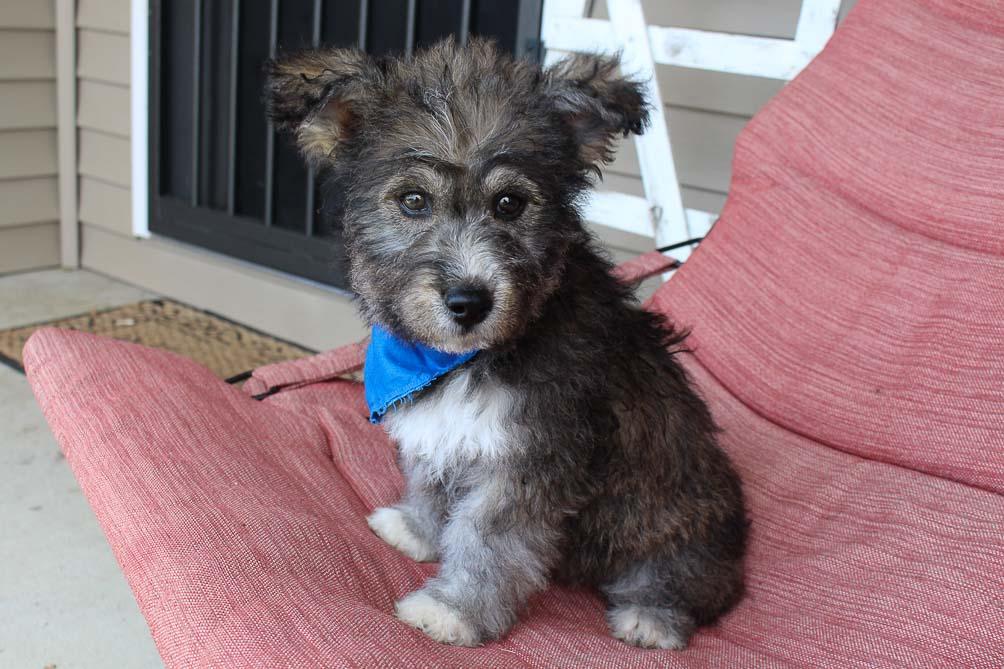 Zeke - Huskypoo male doggie for sale in Shipshewana, Indiana