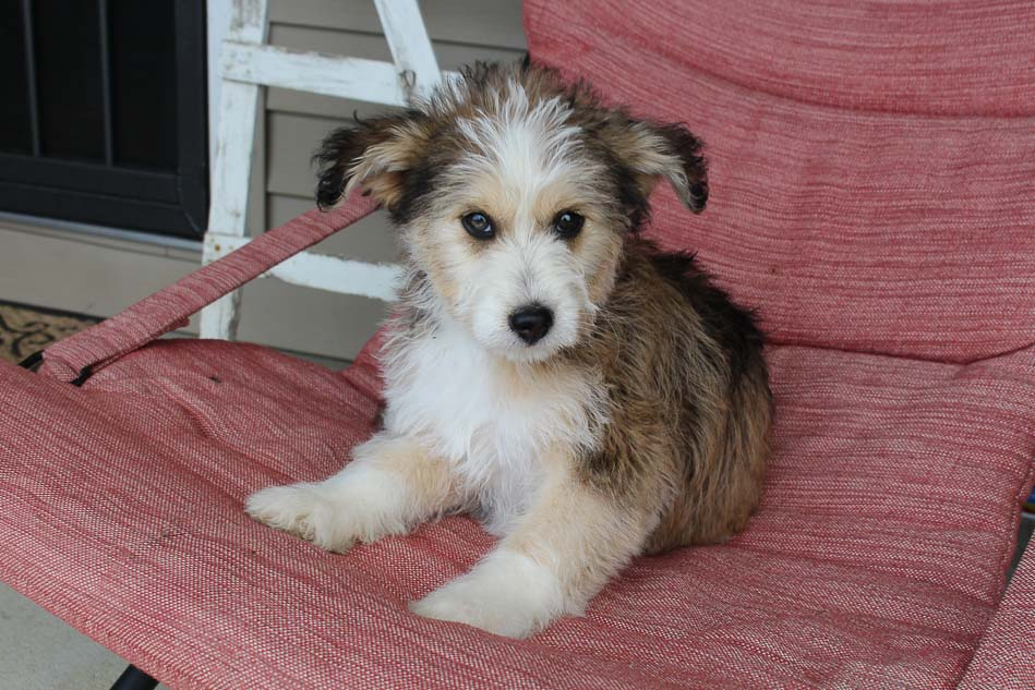 Angel - Huskypoo female pupper for sale in Shipshewana, Indiana