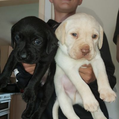 Coco - AKC Lab Retriever pup for sale at Jetersville, Virginia