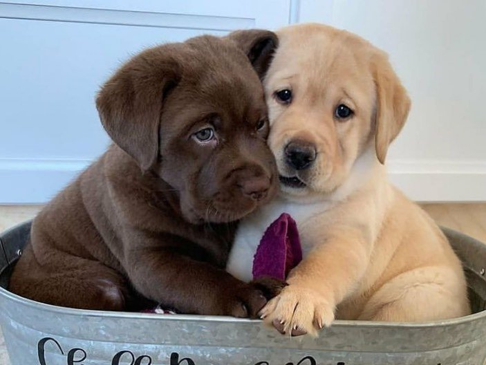 Jin Kaffe - Labrador Retriever puppy for sale near Jetersville, Virginia