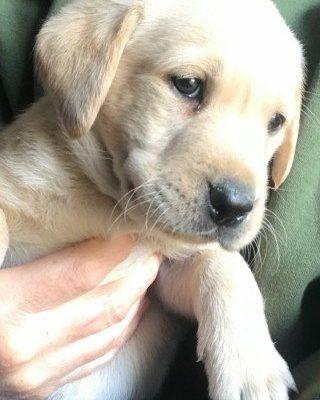 Charmer - pupper Lab Retriever for sale near Jetersville, Virginia