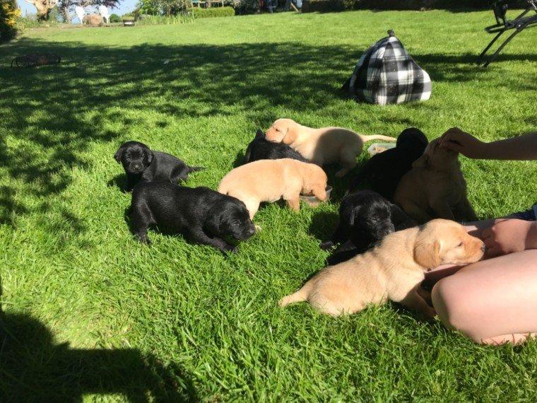 Goofy - male Lab Retriever puppy for sale near Jetersville, Virginia