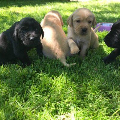 Siannys - AKC Lab Retriever puppy for sale in Jetersville, Virginia