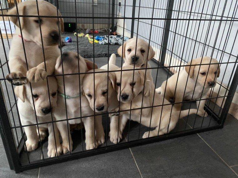 Jugo - AKC Lab Retriever puppie for sale in Jetersville, Virginia