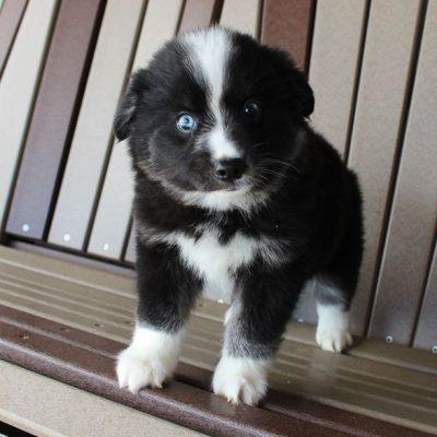 Pongo - doggie Eskimo Spitz-Pomsky mix for sale at Spencerville, Indiana
