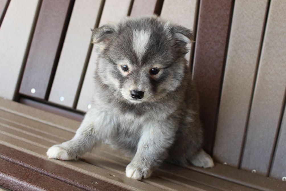 Ann - Eskimo Spitz-Pomsky mix female puppy for sale near Spencerville, Indiana