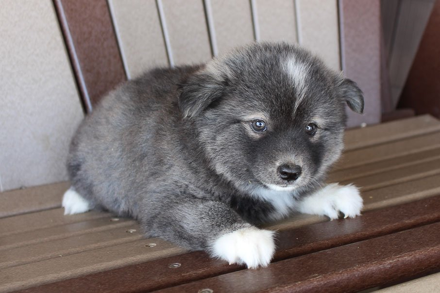 Molly - Eskimo Spitz-Pomsky mix female pup for sale in Spencerville, Indiana