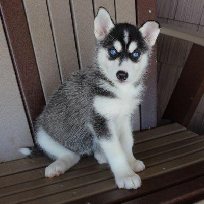 Nikki - Siberian Husky female pup for sale at Spencerville, Indiana