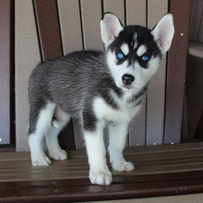 Clare - female Siberian Husky pupper for sale near Spencerville, Indiana