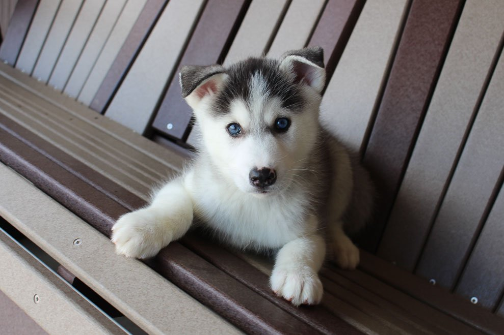 Tommy - Siberian Husky male puppie for sale in Spencerville, Indiana
