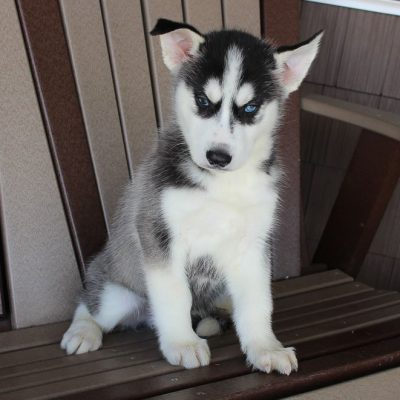Benny - AKC Siberian Husky male puppy for sale in Spencerville, Indiana