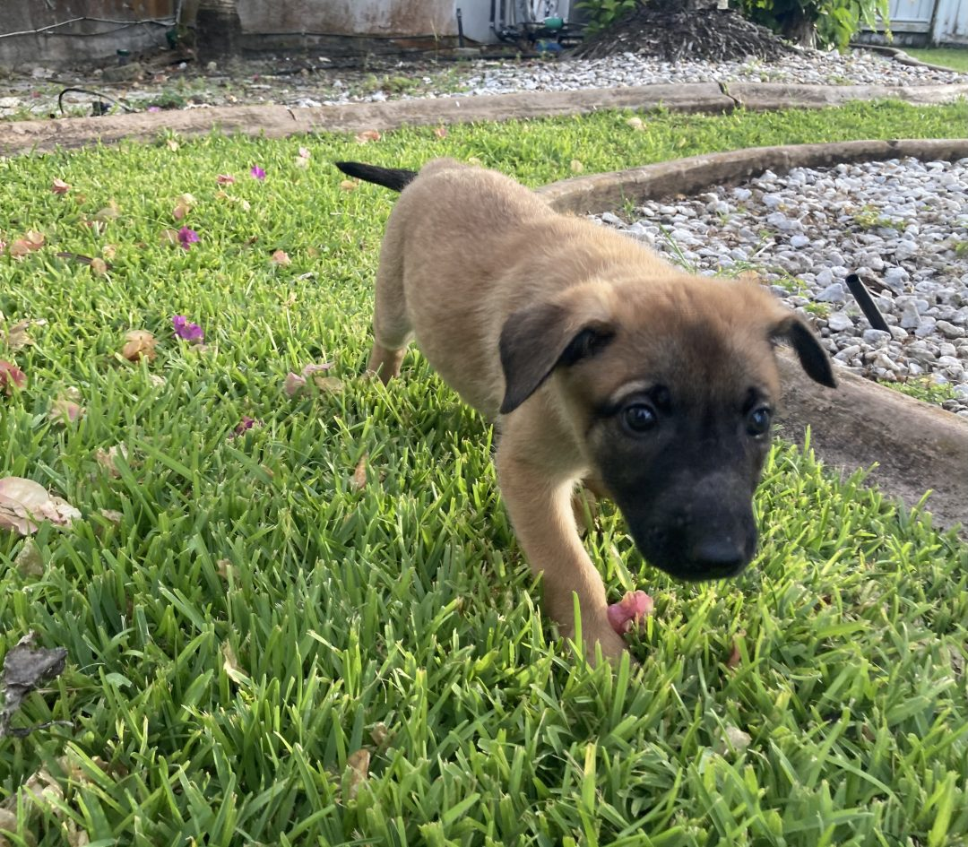 Brownie - Belgian Malinois puppies for sale in Plantation, Florida