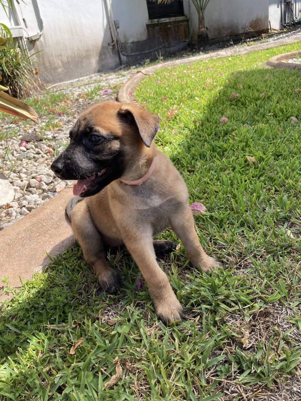 Kaya - Belgian Malinois puppies for sale in Plantation, Florida
