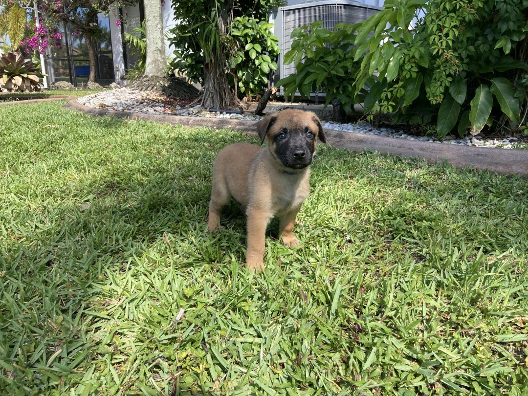 Nitro - Belgian Malinois puppies for sale in Plantation, Florida