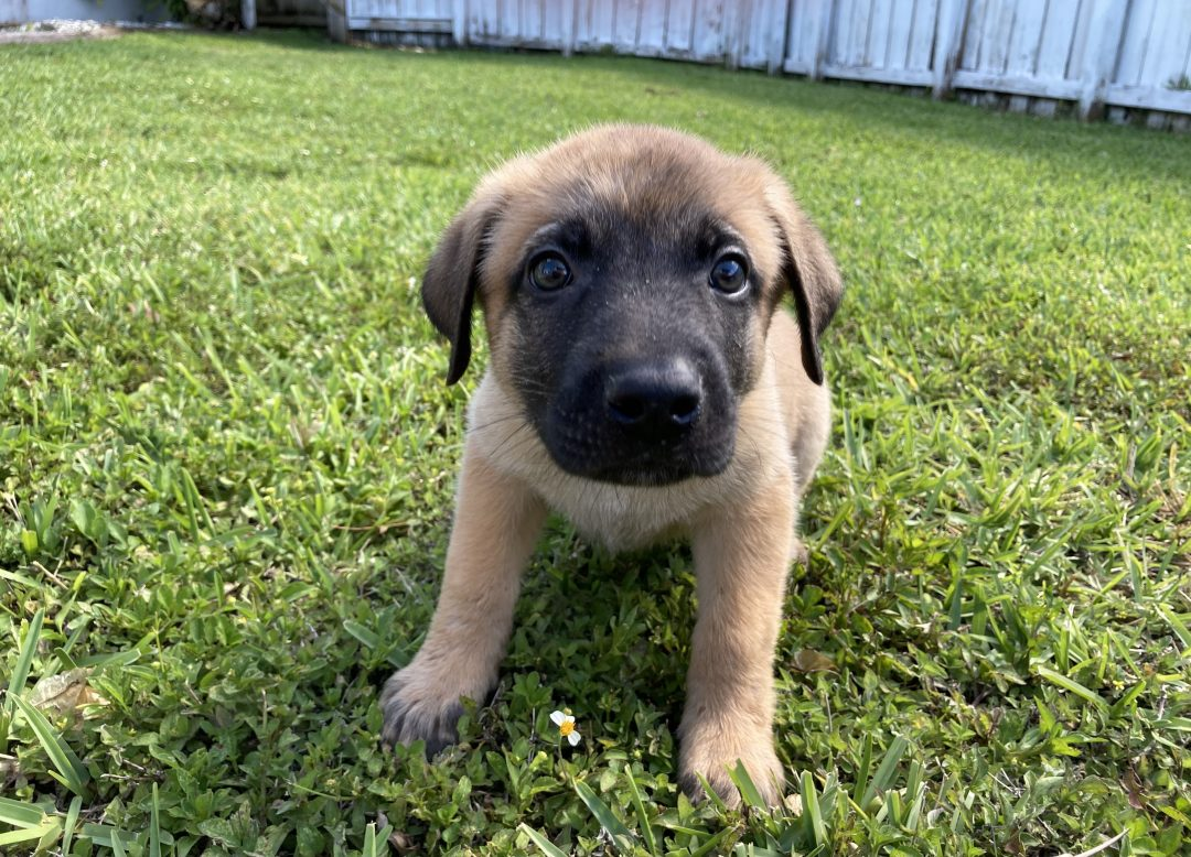 Butch - Belgian Malinois puppies for sale in Plantation, Florida