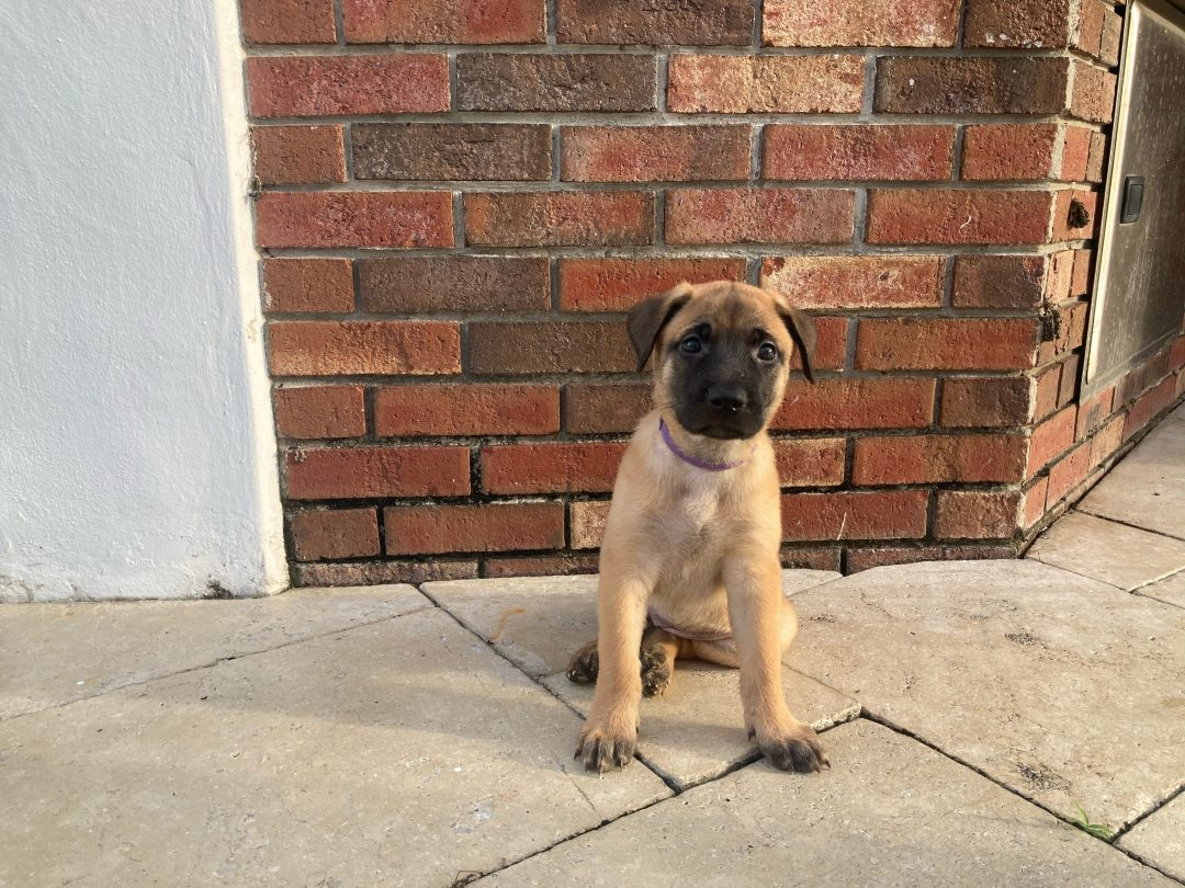 Christa - Belgian Malinois puppies for sale in Plantation, Florida