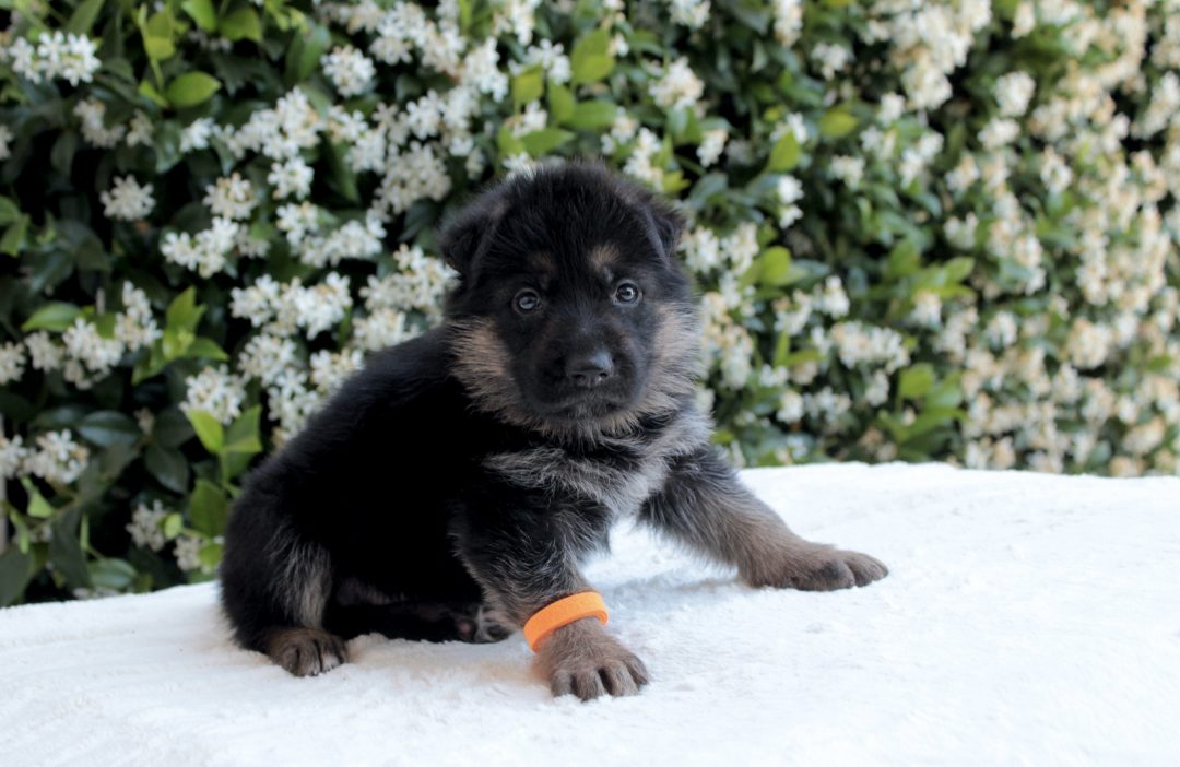 Lex - AKC German Shepherd male pup for sale in Sacramento, California