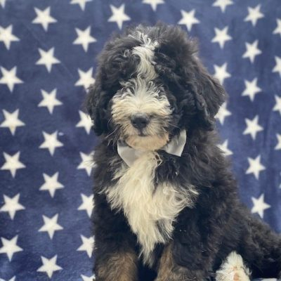 Otto - Bernedoodle f1 male pup for sale in Nottingham, Pennsylvania